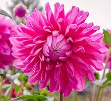 Pink Dahlia by Carolyn Eaton