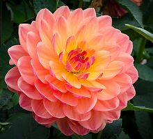 Pretty Peach Dahlia by Carolyn Eaton
