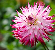 Pretty Dahlia Flower by Carolyn Eaton