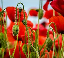 Poppies by Carolyn Eaton