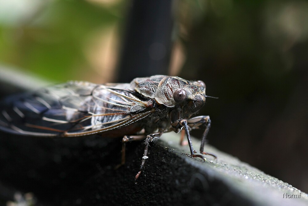 Cicada Macro. by Normf