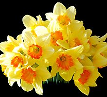 Daffodils by Chris Charlesworth