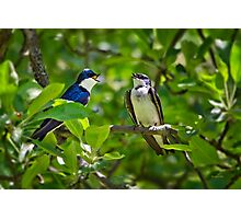 Tree Swallows Song Photographic Print