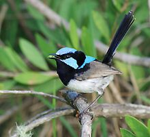 Superb Fairy Wren Male by Lyle McNamara