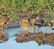 Plumed Whistling Ducks, Kakadu Nayional Park, Northern Territory, Australia by Adrian Paul
