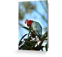 Gang-gang cockatoo Greeting Card
