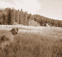 australian Shepherd lost in the praire by maria ines kandle