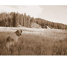australian Shepherd lost in the praire Photographic Print