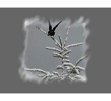Black Bird Landing On Snow Covered Tree Photographic Print