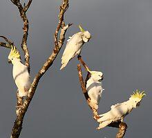 Sulphur crested cockatoos by kenconolly