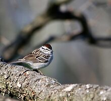 Wild Bird Art Chipping Sparrow by Christina Rollo