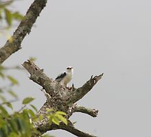 Black shouldered kite by kenconolly