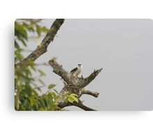 Black shouldered kite Canvas Print