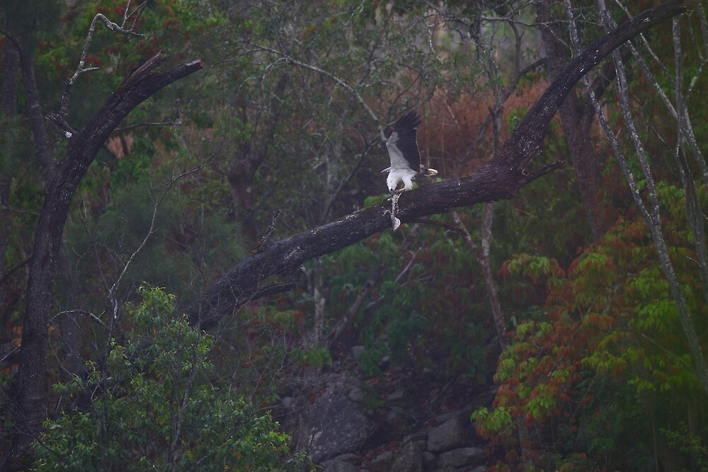 Sea eagle dances with barra frame by kenconolly