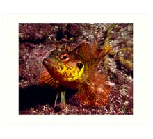 Throat-spotted blenny Art Print