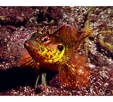 Throat-spotted blenny Photographic Print