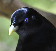 Satin Bower Bird II by Tom Newman
