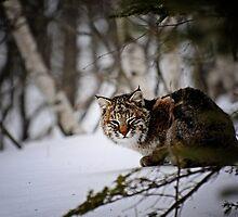 Bobcat by lumiwa