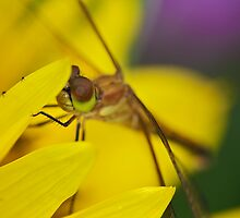 Dragonfly closeup by erbephoto