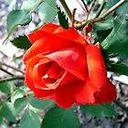 Red Rose by Johnny Furlotte