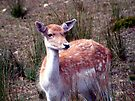 Fallow Deer Doe by Johnny Furlotte