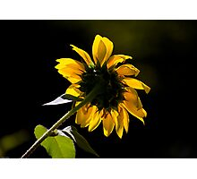 Behind The Sunflower Photographic Print