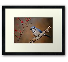 Blue Jay and berries.. Framed Print