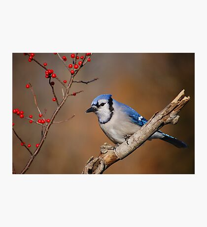 Blue Jay and berries.. Photographic Print