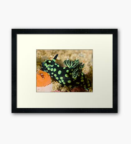 Green-Spotted Nudibranch Framed Print