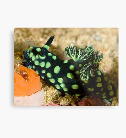 Green-Spotted Nudibranch Metal Print