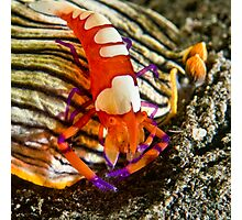 Emperor Shrimp on Nudibranch Photographic Print