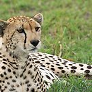 Cheetah Stare by Nickolay Stanev