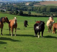 Rare Breeds Of Horses Sticker