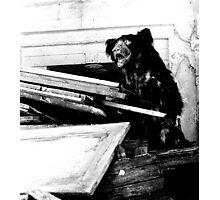 Indian bear Photographic Print