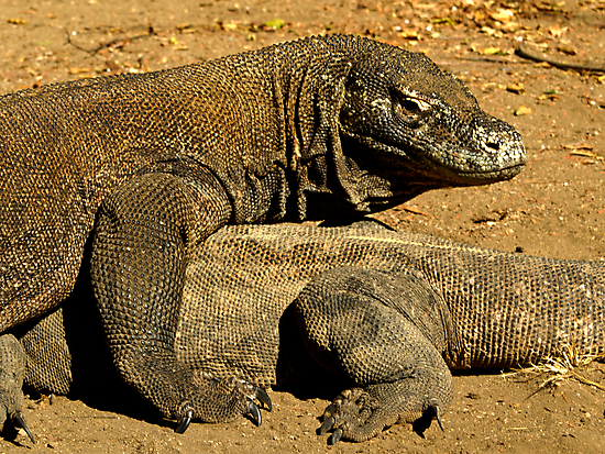 Komodo Dragons by Dan Sweeney