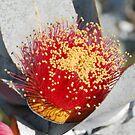 """Eucalyptus macrocarpa """"Mottlecah"""" by Julie Sherlock"""