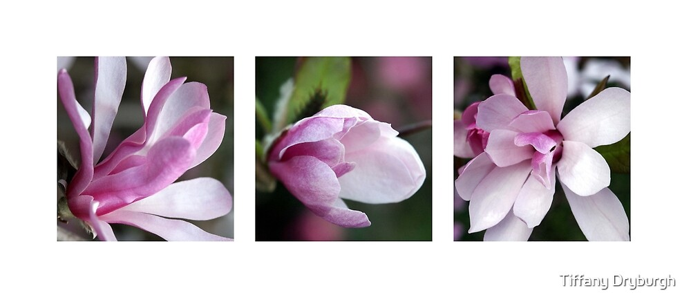 Star Magnolia Triptych by Tiffany Dryburgh