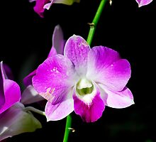 Purple Orchid by Aneurysm
