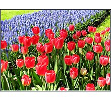 Dutch Splendour - Red Tulips and Blue Muscari Photographic Print