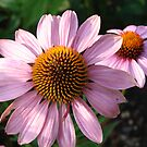 Giant Cone Flower (Echinacea)  by ticklemonkey