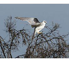 Black Shouldered  Kite,  Juvenile Photographic Print
