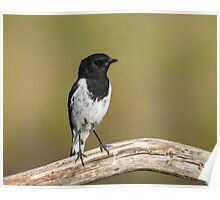 Male  Hooded Robin Poster