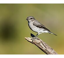 Juvenile  Hooded Robin  Photographic Print