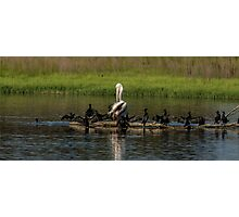 Odd one out Pelican Photographic Print