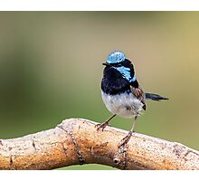 Blue Wren Male Photographic Print