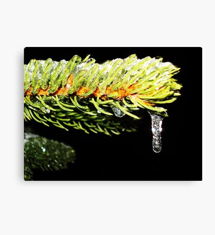 Pine Covered in Ice Canvas Print
