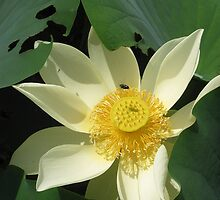 White Lotus with yellow centre and leaves by Marilyn Baldey
