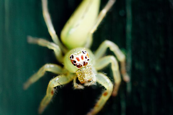 Jumping Spider by Jules Campbell