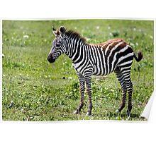 Zebra Foal Poster