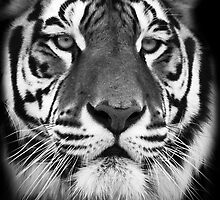 Tiger by Rick Bowden